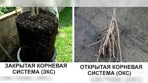 Открытая и закрытая корневая система саженцев